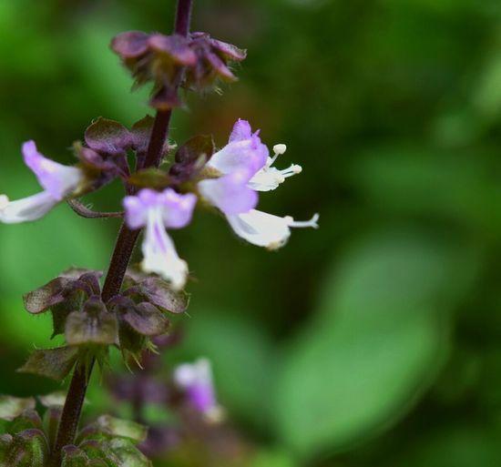 Flower Flower Photo Thailand Flower Purple Color Closeup Flower Purple Flowers
