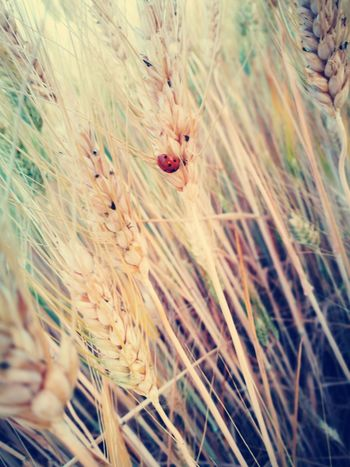 Cereal Plant Agriculture Wheat Nature Outdoors Rural Scene One Animal No People Beauty In Nature Insect Ladybug🐞