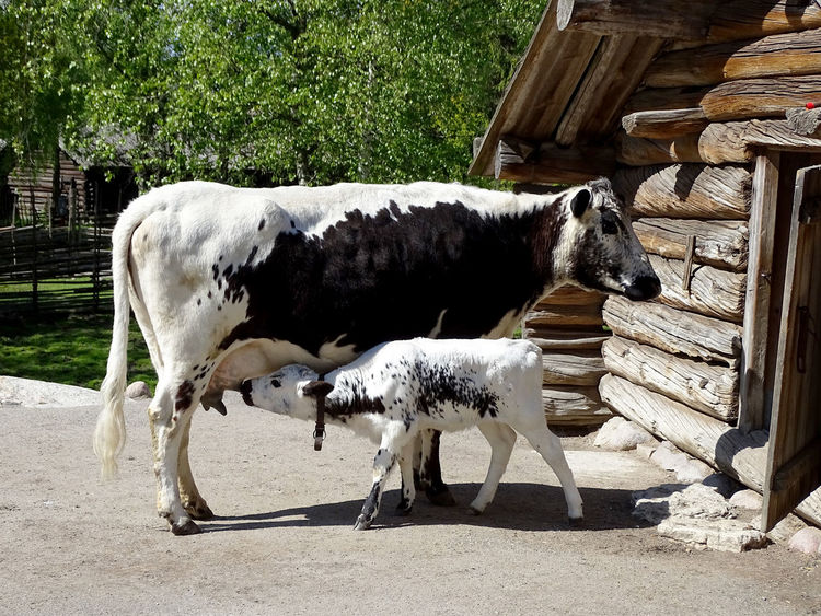 Animal Themes Domestic Animals Cow Cows Calf Mother And Child Motherhood Motherhood In Nature Nature Nature_collection EyeEm Gallery Eyeemphotography Animal Photography Animal_collection Animal