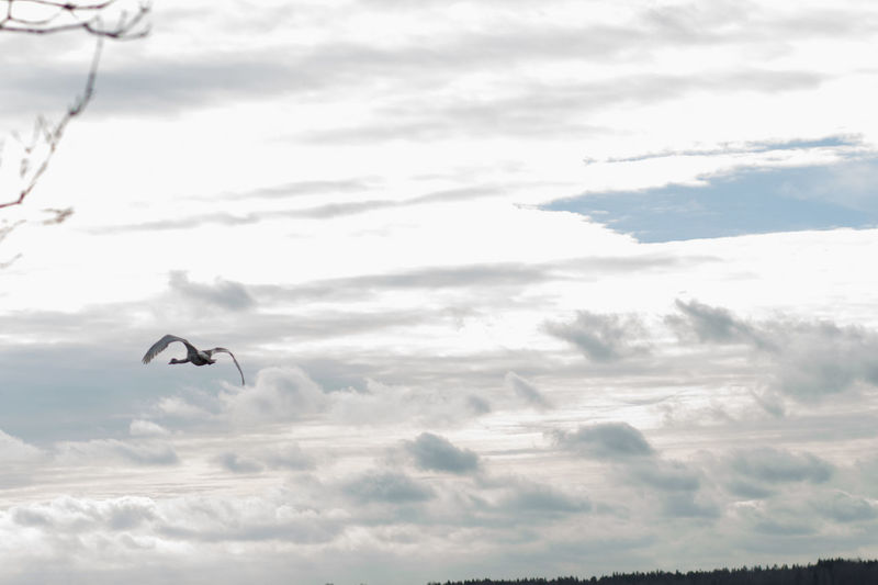 Cloud - Sky Sky Flying Animals In The Wild Animal Themes Animal Wildlife Animal Vertebrate Bird One Animal Mid-air Beauty In Nature Low Angle View Spread Wings Day Nature No People Tranquil Scene Scenics - Nature Tranquility Outdoors Swan Flying Swan Springtime Spread Your Wings
