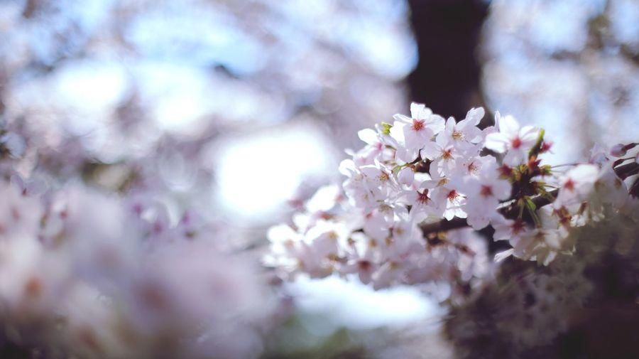 Sakura Sakura Flower Plant Tree