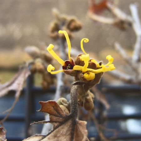 _Hamamelis japonica_ Witch Hazel Blossom Plants And Flowers Nature