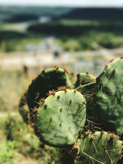 EyeEm Selects Cactus Green Color Nature Growth Thorn Focus On Foreground Plant Spiked No People Close-up Prickly Pear Cactus Outdoors Beauty In Nature So Fresh Cacti The Week On EyeEm