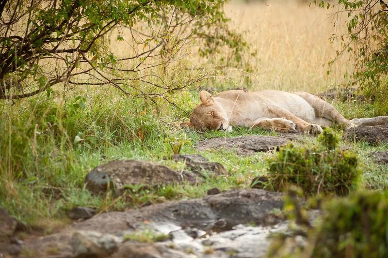 Lioness Animal