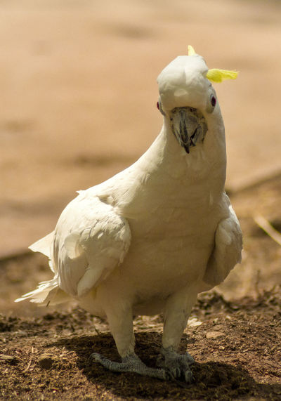 Close-up of sulphur crested cockatoo on field