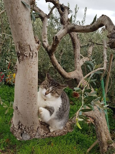 Cat♡ Schilla Vexed Olive Tree My House♥ Love ♥ Tree Nature No People Outdoors Day Tree Trunk Beauty In Nature