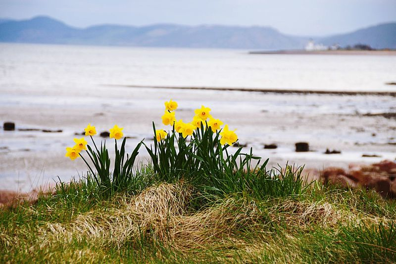 Daffodils Growing On Grass At Shore