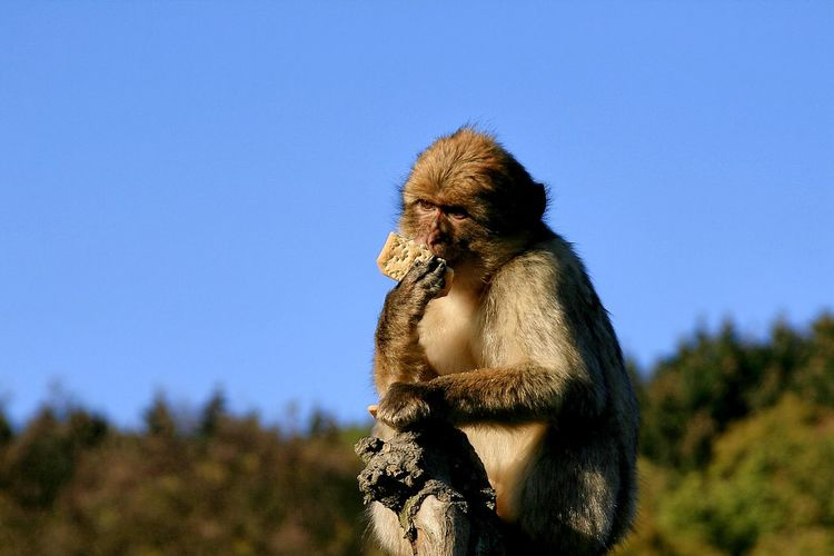 Monkey eating cracker against clear blue sky