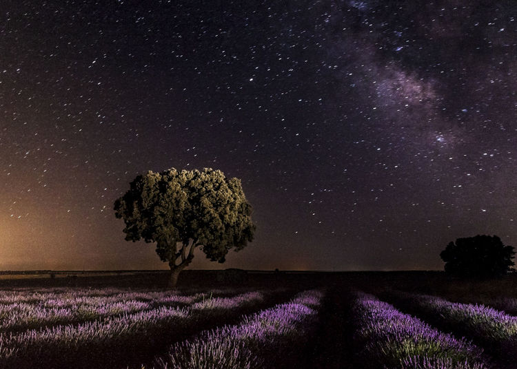 Milky way over field of lavender