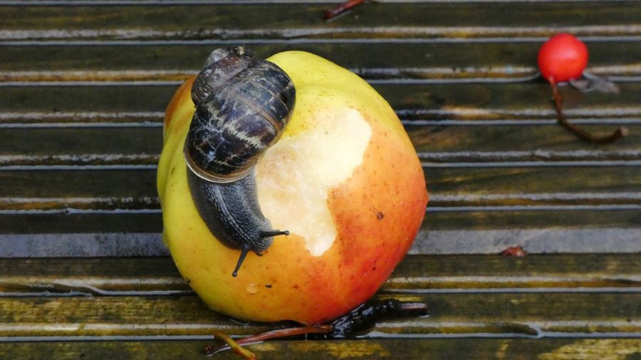 Fruit Food Rotten Close-up One Animal Animal Themes Animals In The Wild Nature No People Healthy Eating Snail Apple Garden Outdoors Day Life Animals In The Wild Animal Wildlife Wildlife & Nature