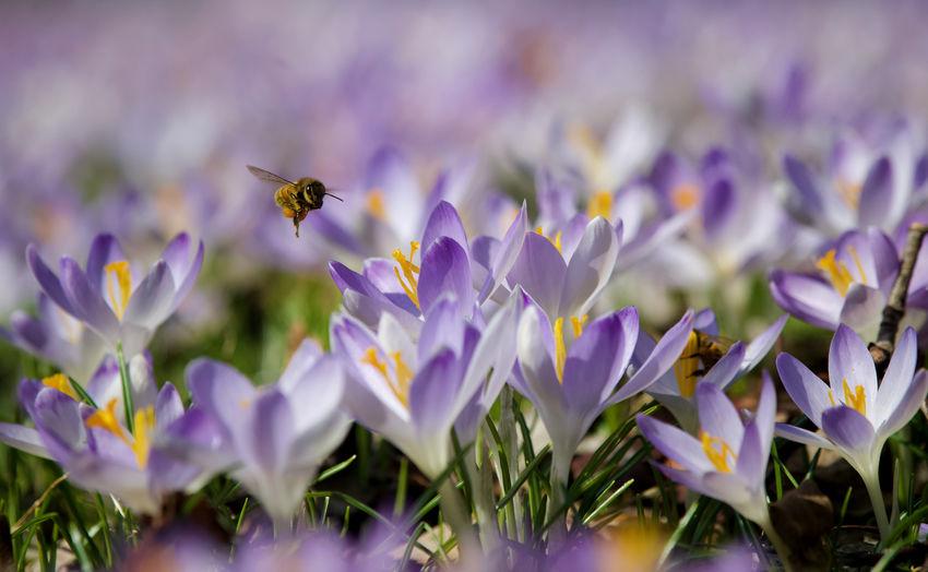 Close-up of honey bee on purple flowering
