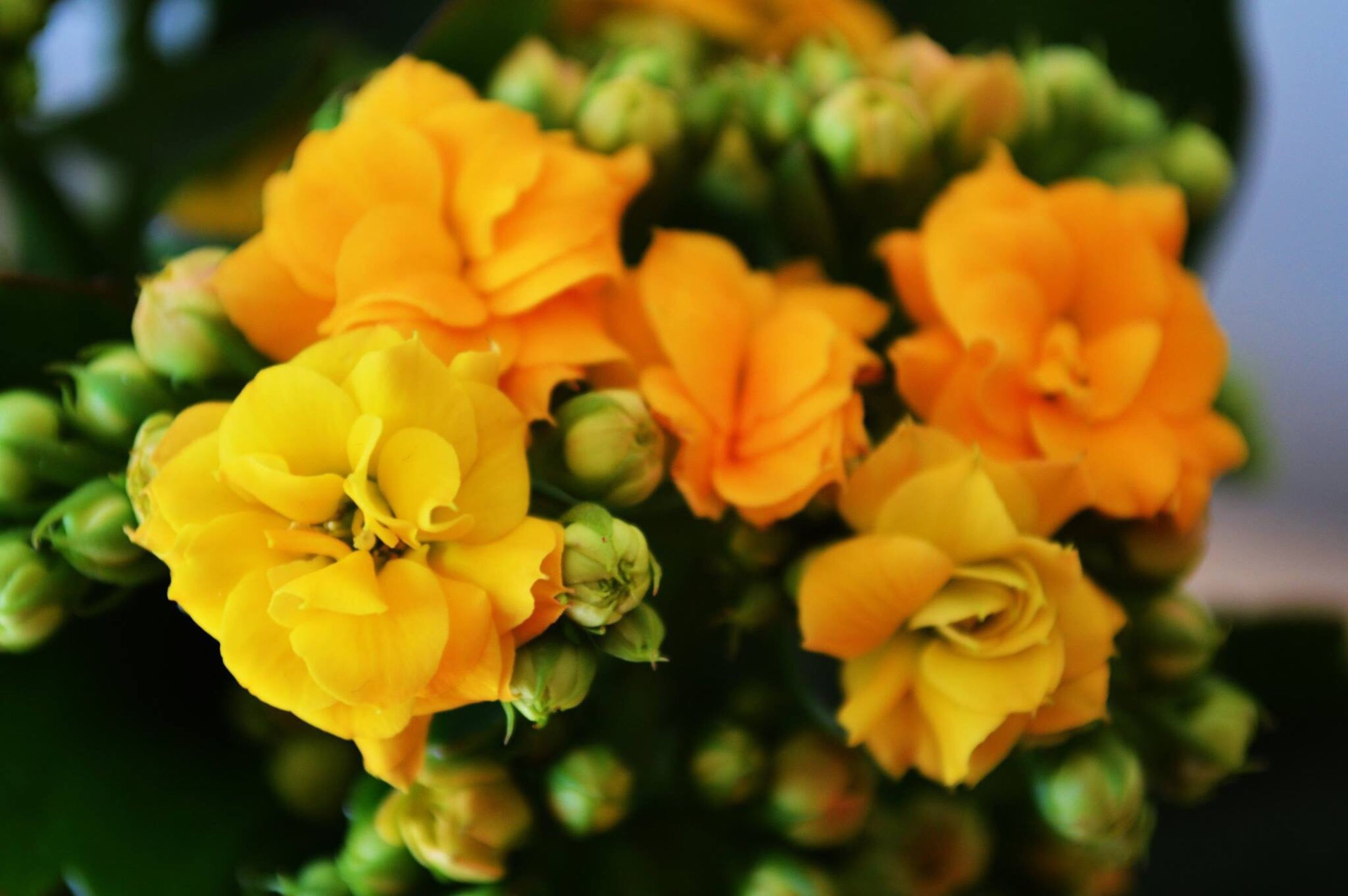 flower, petal, freshness, flower head, fragility, focus on foreground, beauty in nature, yellow, growth, close-up, blooming, nature, plant, in bloom, rose - flower, park - man made space, orange color, blossom, no people, day