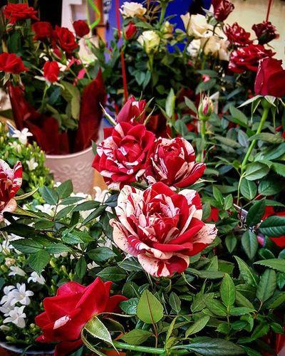 Roses Quintaflower Myheartinshots Flowers Horticulture