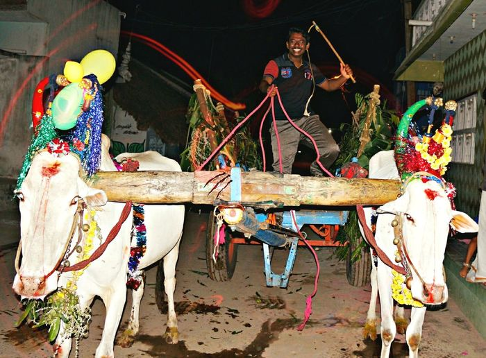 Who are all like to ride in this vehicle.this photo is click at night time in cultural festival of india. Festival name is cow pongal. It is one of the indian festival all the tamil people will celebrate it grandly.i am also enjoying,save Jallikkattu