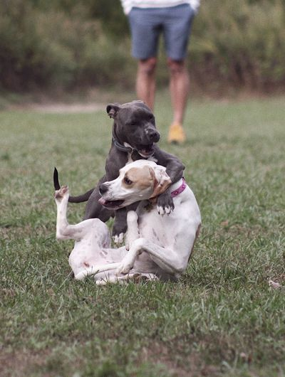 Dogs Dog Pets Domestic Animals Grass Mammal Togetherness Day Field Outdoors Real People Pit Bull Terrier Adult DUKE  Fight Playful Dog Playfight