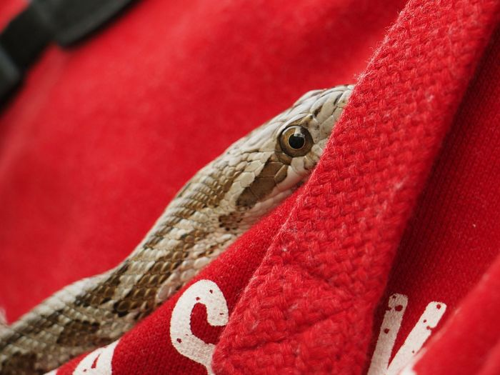Close-up of red lizard