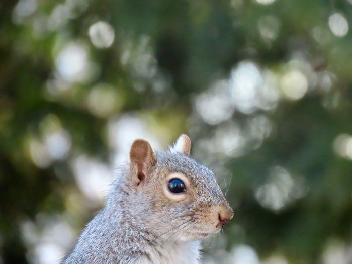 EyeEm selects squirrel closeups side view headshot animal themes outdoors EyeEm nature lover focus on the foreground EyeEm Selects One Animal Animal Wildlife Rodent No People