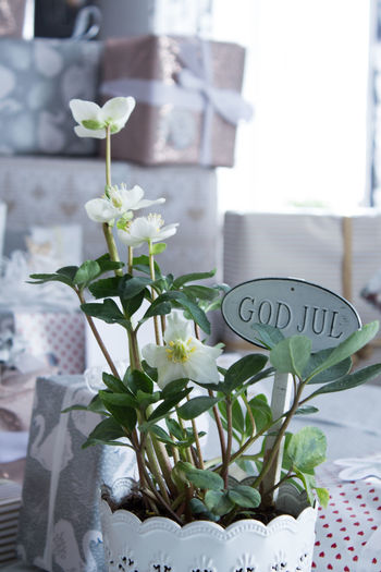 Plant Text Communication Western Script Nature No People Flower Leaf Growth Close-up Day Flowering Plant Beauty In Nature Plant Part Focus On Foreground Potted Plant Outdoors Green Color White Color Flower Head Sweden God Jul Julros Xmas Rose