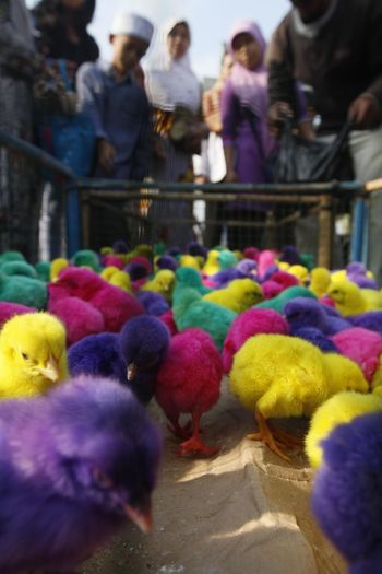 Colorful chickens in Indonesia. Bird Vertebrate Group Of Animals Animal Themes Animal Multi Colored Group Of People Day Selective Focus Domestic Animals Livestock Large Group Of Animals Domestic Pets Young Bird Group Chicken - Bird Outdoors Yellow Medium Group Of People Softness