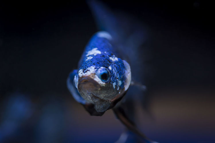 Close-up of blue turtle on black background
