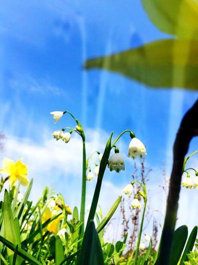 すずらん Flowers Spring Flowers