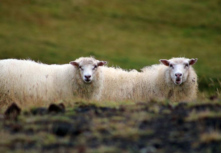 Iceland Animal