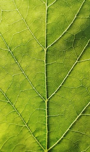 Leaf Nature Backgrounds No People Close-up Full Frame Green Color Plant Day Textured  Beauty In Nature Growth Freshness Outdoors Fragility Animal Themes Freshness Plant