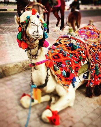~leben bedeutet loslassen und aus Fehlern lernen. Tränen wegwischen und Lächeln. Die Vergangenheit zu akzeptieren und die Zukunft zu leben. Weiter zu kämpfen obwohl die Kraft fehlt.~ Egypt Hurghada Travelling Travel Camel Animals Imagen Backagain Wonderful Loveit Nice Life Think Thinking Ciao