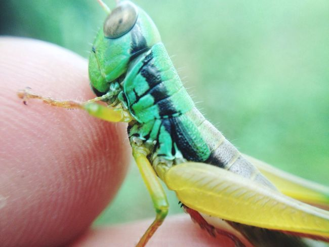 Green grasshopper Grasshopper Close-up One Animal Extreme Close-up Animals In The Wild Side View Macro Green Color Nature Focus On Foreground Animal Themes Finger Softness Belalang