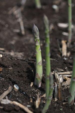 畑に生えるアスパラガス Asparagus Asparagus Season Asparagus Field Asparagus Plant Asparagus Fern Vegetable Vegetarian Food Asparagus, Vegetable, Green Green Green Color Green Color Growth Nature