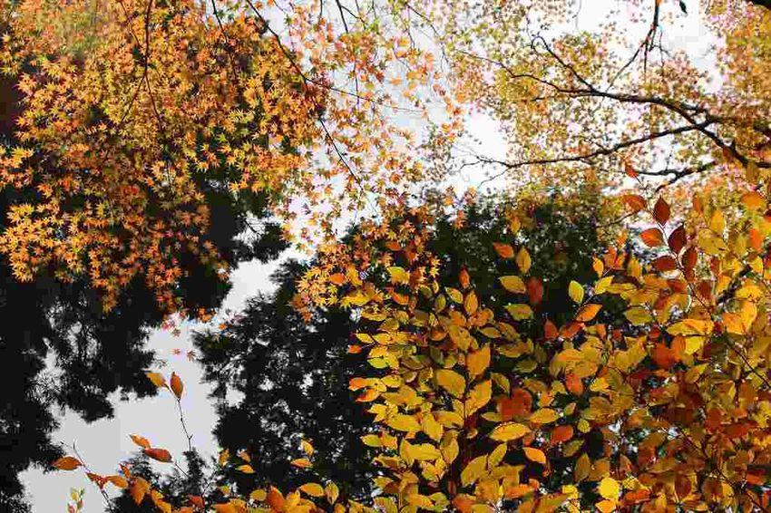 Autumn Autumn Colors Japan Autumn Beauty In Nature Hakone Leaf Nature Outdoors Tree Yellow