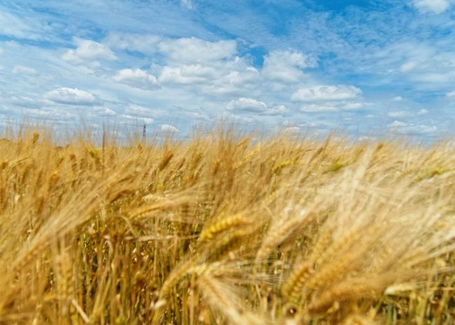 Agriculture Beauty In Nature Cereal Plant Claudetheen Close-up Cloud Crop  Farm Field Growth Landscape Sky Sky And Clouds Wheat