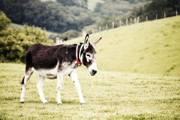 Donkey walking in a field. Dokeys Farm Animal Animal Themes Day Donkey Environment Equine Field Focus On Foreground Grass Herbivorous Land Landscape Livestock Mammal Nature No People One Animal Outdoors Plant Vertebrate