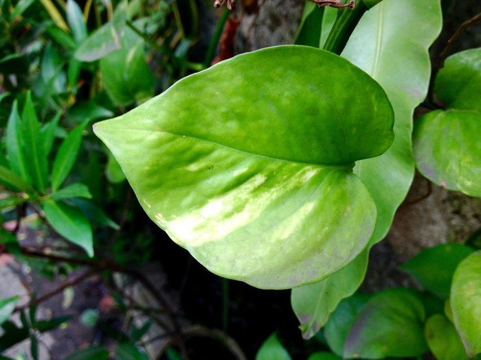 Leaf Growth Nature Green Color Plant Freshness Beauty In Nature Close-up No People Outdoors Tree Day