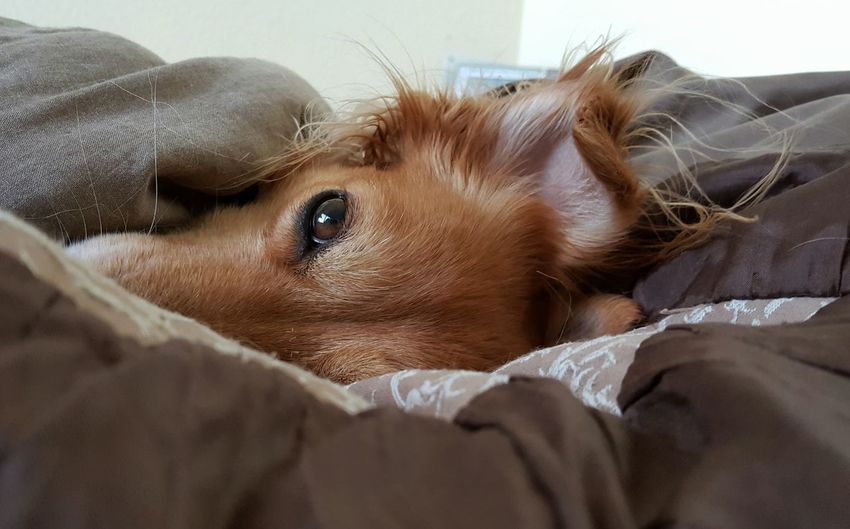 """""""Happy sunday! """" Animal Animal Body Part Animal Hair Animal Head  AntiM Brown Close-up Cute Day Dogs Of EyeEm Domestic Animals Focus On Foreground Home Lying Down Mammal My Dogs Are Cooler Than Your Kids No People Pets Portrait Relaxation Resting Selective Focus Sofa SweetSally Always Be Cozy"""