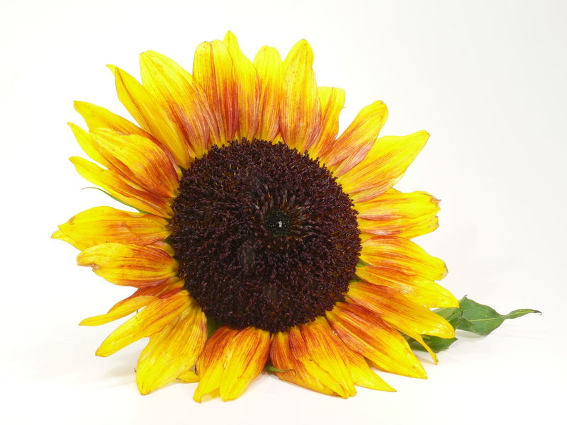 Abundance Beauty In Nature Blooming Botany Close-up Day Elégance Flower Flower Head Fragility Freigestellt Freshness Growth Isolated Nature No People Petal Softness Sonnenblume Springtime Sunflower Sunflower Yellow