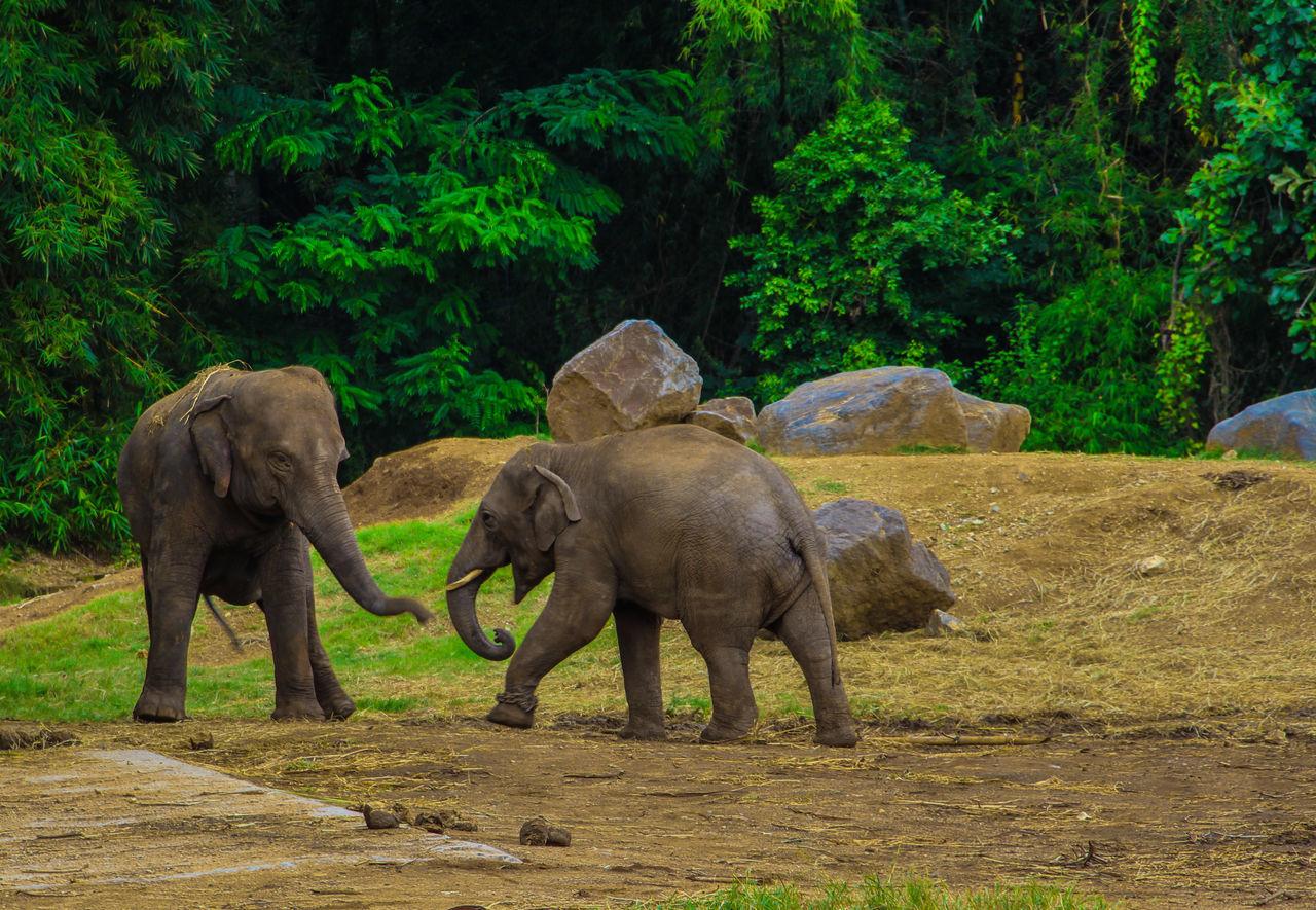 elephant, animals in the wild, animal themes, animal wildlife, outdoors, animal family, no people, tree, mammal, young animal, elephant calf, day, animal trunk, nature, african elephant, full length, tusk, safari animals, togetherness