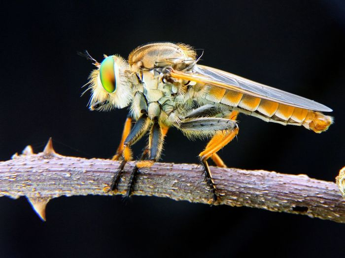 Close-Up Of Robber Fly On Stem