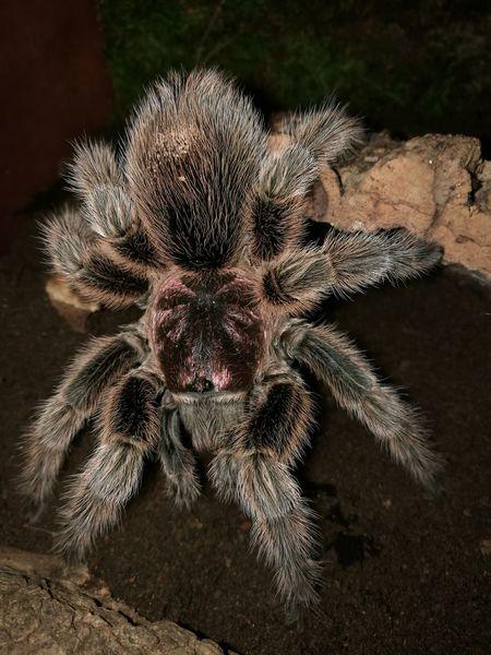 Meine Grammastola Rosea Spider Grammastola Rosea Vogelspinne Terrarium🍀 Terraristik