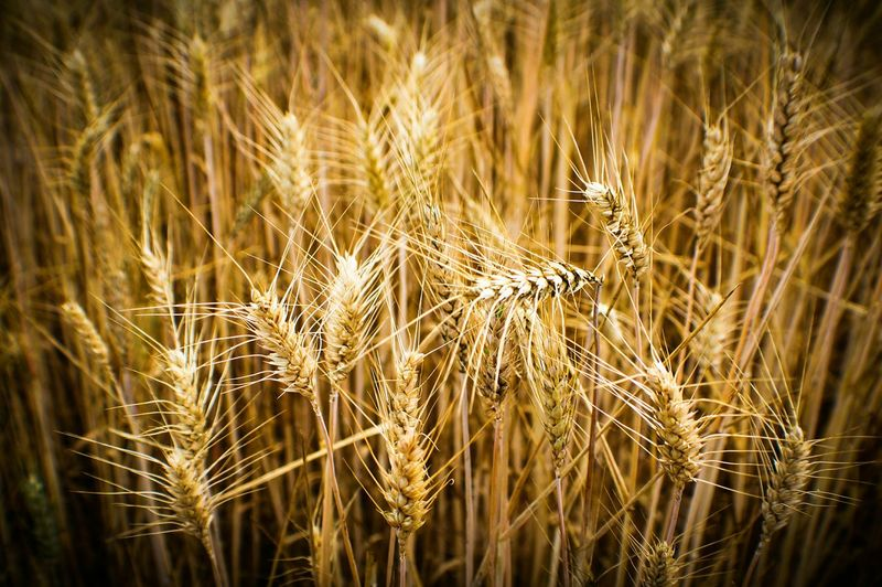Check This Out EyeEm Gallery Grain Grainy Images The 43 Golden Moments Trigo Espigas Macro Rural Scene Covarrubias 43 Golden Moments Colour Of Life