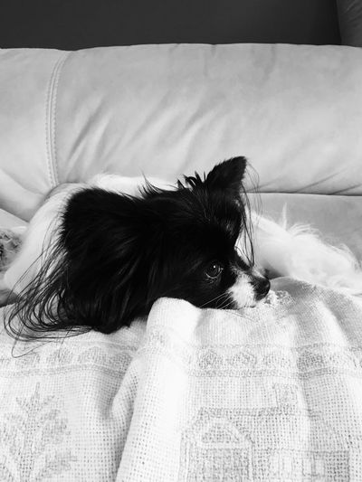 Papillon Furniture Pets Domestic Animals One Animal Domestic Relaxation Bed Sofa Canine Dog Indoors  Vertebrate Animal Themes Mammal Home Interior Pillow Lying Down Animal Resting Domestic Room