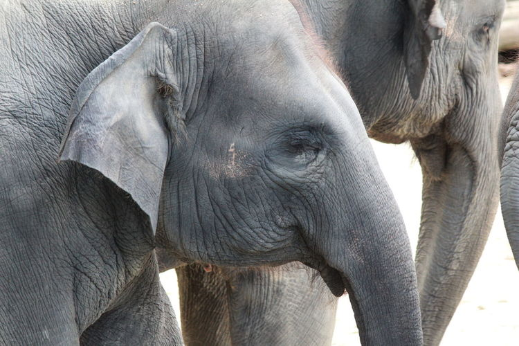 Animal Animal Body Part Animal Themes Animal Trunk Animals In The Wild Asian Elephant Close-up Day Elephant Elephant Calf Indian Elephant Mammal Nature No People Outdoors Trunk Tusk Young Animal Pet Portraits Black And White Friday Be. Ready.