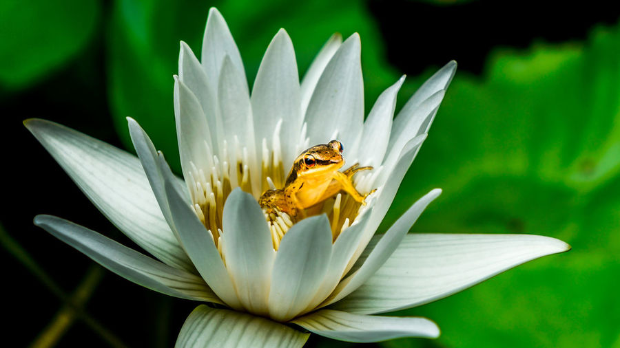 A small frog hide inside a lotus flower Animal Themes Animal Wildlife Animals In The Wild Beauty In Nature Blooming Close-up Day Flower Flower Head Freshness Growth Nature No People One Animal Outdoors Petal Plant Pollen Pollination White Color First Eyeem Photo EyeEmNewHere Frog