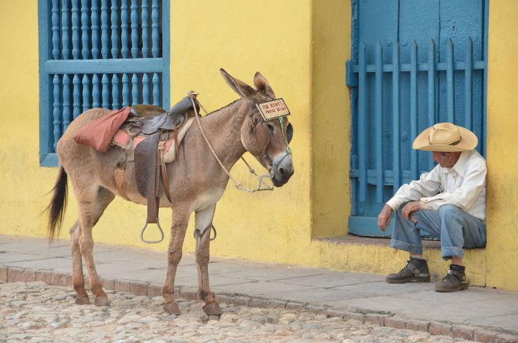 Animal Bridle Brown Cuba Day Domestic Animals Herbivorous Livestock Mammal Outdoors Pet Collar Portrait Working Animal