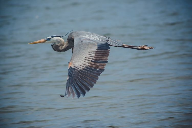 Heron Animals In The Wild Animal Wildlife Animal Animal Themes One Animal Vertebrate Bird Water Flying Spread Wings Waterfront Mid-air No People Day Motion Nature Water Bird Focus On Foreground Outdoors