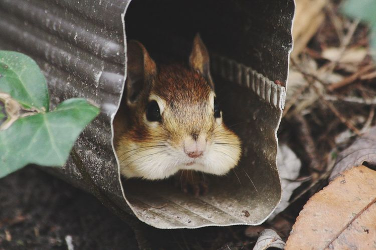 Chipmunk Animal Nature Check This Out EyeEm The Essence Of Summer Popular Photos EyeEm Best Shots EyeEm Gallery Naturelovers Nature Photography Nature's Diversities EyeEmBestPics Nature_collection EyeEm Nature Lover No People