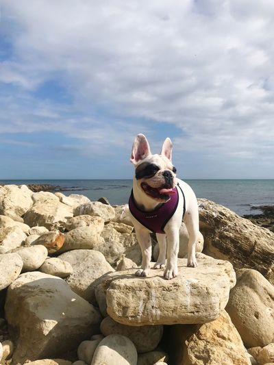 Rocky Coastline Rocks Standing Canine Puppy Pet Of The Day Pet Portraits Frenchbulldog Frenchie Canine Water Dog One Animal Sea Pets Sky Cloud - Sky Domestic Domestic Animals Animal Themes Rock Horizon Solid Rock - Object Animal No People Horizon Over Water Mammal Beach