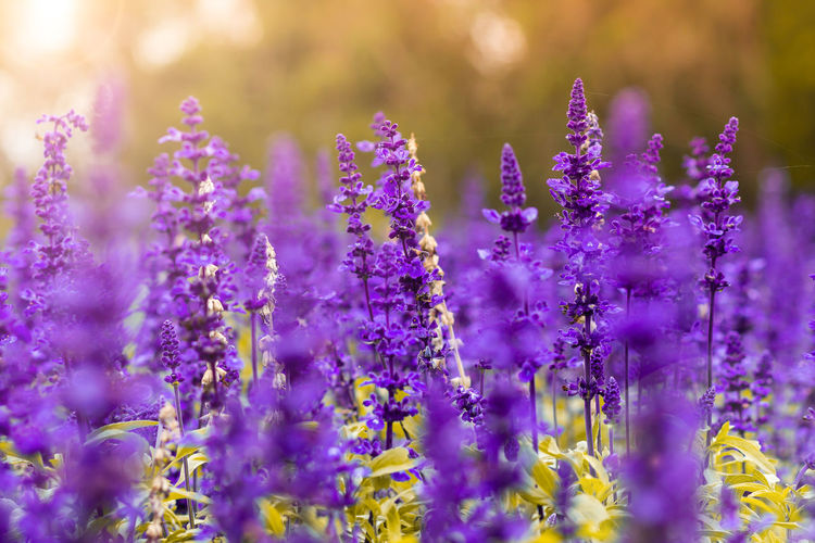 Beautiful Colors EyeEmNewHere Thailand Travel Beauty In Nature Beauty In Nature Close-up Evening Flower Flowering Plant Growth Lavender Lavender Colored Nature No People Plant Purple Selective Focus Springtime Sunset Travel Destinations