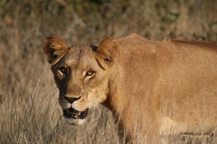 Close-up of lioness on grassy field