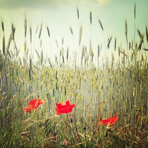 Flowers Field Poppy Flowers